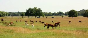 Photo of deer in Richmond Park